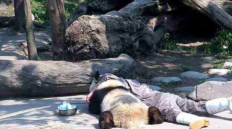 Panda soaks up some sunshine with its keeper